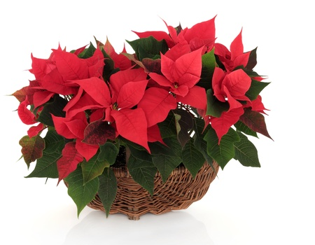 poinsettia: Poinsettia flower arrangement in a wicker basket over white background  Stock Photo