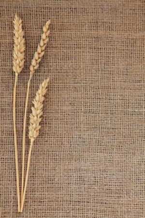 Ears of dried wheat on a hessian background Фото со стока