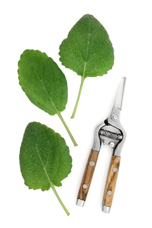 white salvia: Clary sage herb leaf sprigs with rustic secateurs over white background  Salvia sclarea  Stock Photo