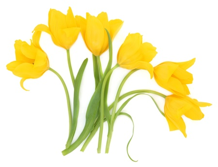 Six yellow tulip flowers over white background, perfect lover variety  Stock Photo - 16100800