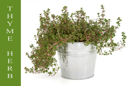 Thyme herb in an old aluminium pot over white background with text title description on green  Thymus Stock Photo - 16100824