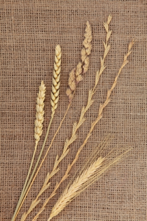 Abstract design of dried grass types with ears of wheat and corn on hessian background  Stock Photo - 16244214
