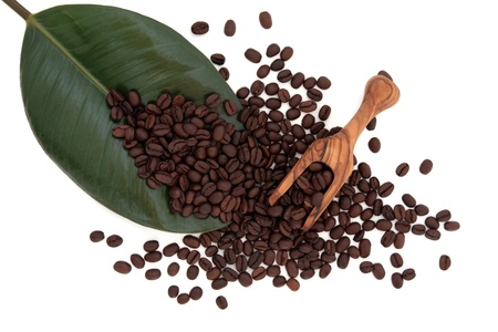 Coffee beans on a rubber plant leaf with olive wood scoop  over white background  Stock Photo - 16244209