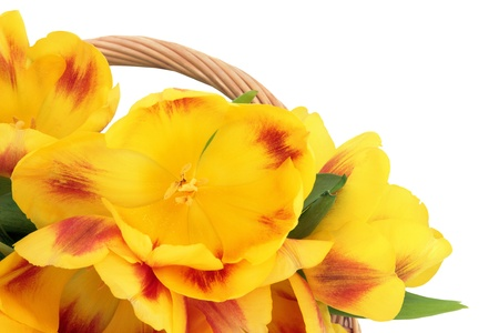 Yellow and red tulip flower arrangement over white background  Selective focus  Stock Photo - 16244196