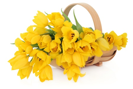 Yellow tulip flowers in a wooden basket over white background  Stock Photo - 16383858