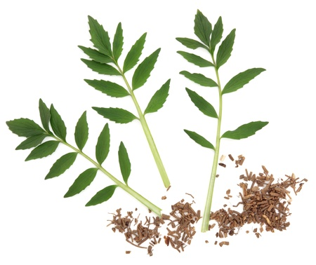 valerian: Valerian chopped herb root and leaf sprigs over white background  Valeriana   Stock Photo