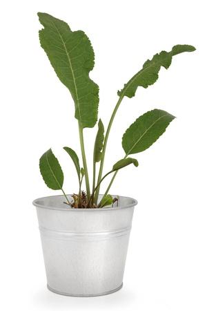 horseradish: Horseradish plant in an aluminium pot over white background