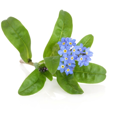 Forget me not flower over white background  Myosotis sylvatica  Stock Photo - 19021530
