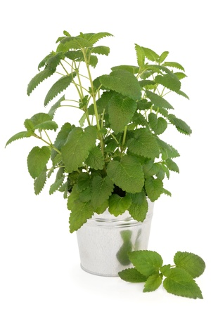 balm: Lemon balm plant in an aluminium pot over white background  Melissa officinalis, can be used as a mosquito repellent