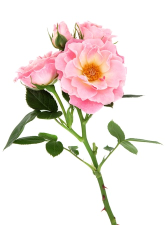 Pink rose flower over white background Stock Photo - 19754091