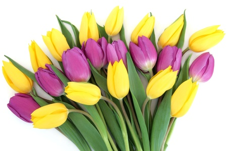 Yellow and purple tulip flower arrangement over white background yellow and purple tulip flower arrangement over white background stock photo picture and royalty free image image 20758307 mightylinksfo