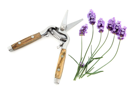 secateurs: Lavender herb flowers with secateurs over white background