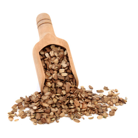 herbology: Angelica seed herb used in chinese herbal medicine in a wooden scoop over white background