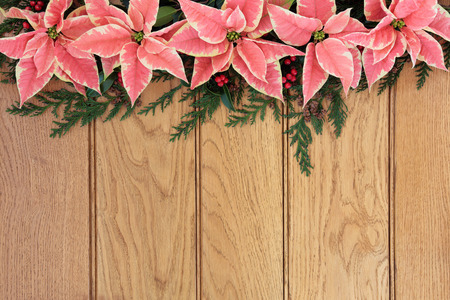 Pink poinsettia flower background border with holly and christmas greenery over oak wood  photo