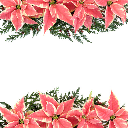 Poinsettia flower thanksgiving background border with cedar cypress leaf sprigs over white. photo