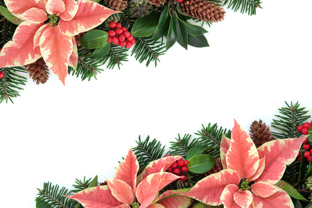 Pink poinsettia flower thanksgiving background border with holly, ivy, pine cones and fir over white. photo