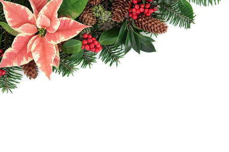 Poinsettia flower thanksgiving background border with holly, ivy, pine cones and fir over white. photo