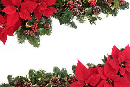 Christmas poinsettia flower background border with holly, ivy, mistletoe, pine cones and fir leaf sprigs over white.
