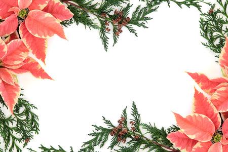 flor de pascua: Poinsettia de la flor de acci�n de gracias de fondo frontera con ramitas de hojas de cipr�s de cedro sobre blanco.
