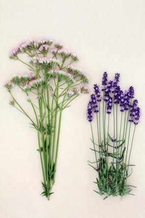 valerian: Valerian and lavender herb flowers over mottled cream background. Used in alternative medicine as calming medicine.