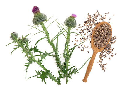 thistles: Milk thistle herb plant  with seeds in a wooden spoon over white background. Stock Photo