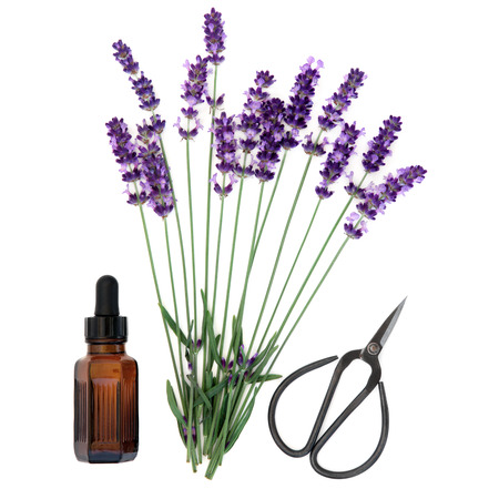 lavandula angustifolia: Lavender herb flower stems with aromatherapy essential oil bottle and scissors over white background. Lavandula angustifolia.