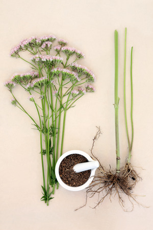 valerian: Valerian flower herb with fresh root and chopped in a mortar with pestle over mottled cream background. Valeriana. Used as an alternative medicinal substitute to vallium.