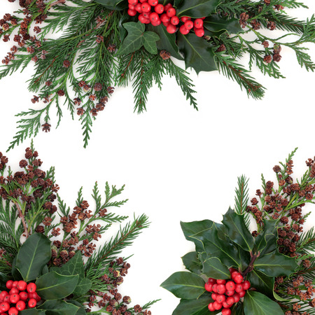 christmas ivy: Winter and christmas floral border with holly and red berries, ivy, fir and cedar cypress over white background.