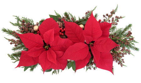 christmas display: Poinsettia flower display with holly, winter greenery and gold bauble decorations over white background. Stock Photo