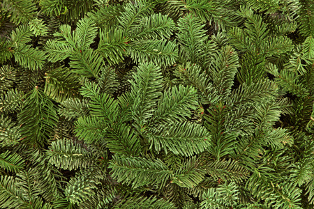 trees seasonal: Blue spruce fir winter greenery forming a background.