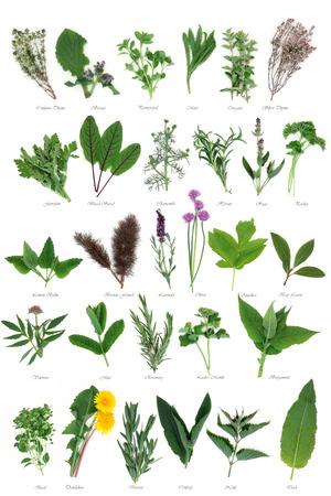 Grote verse selectie kruid gebruikt voor culinaire en alternatieve kruidengeneeskunde over witte achtergrond met titels.