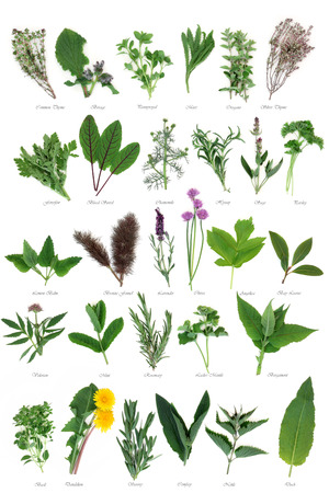valerian plant: Large fresh herb selection used for culinary and alternative herbal medicine over white background with titles.