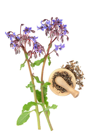 traditional remedy: Borage herbal medicine with herb flower and dried in a mortar with pestle over white background. Used in alternative medicine. Stock Photo