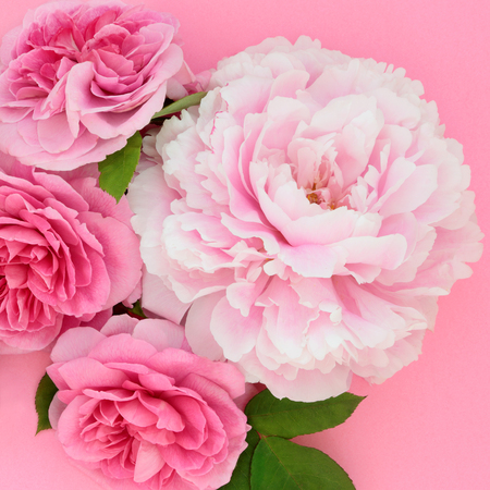 Rose and peony flowers also used in herbal medicine and naturopathic cures. Top view flat lay on pink background. Stockfoto