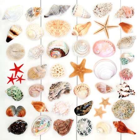 Large seashell collection on rustic white wood background. Stock Photo