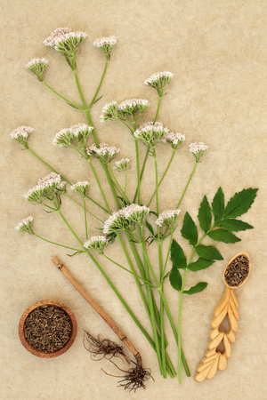 Valerian herb root & flowers on hemp paper background. Used in alternative & traditional herbal medicine to improve mood, reduce stress & insomnia. The flowers have a very unpleasant smell. Valeriana officinalis.