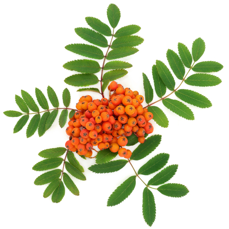 Rowan ash berry fruit on white background also known as Mountain ash. Sorbus.