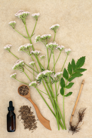 Valerian herb root & flowers &  tincture on hemp paper background. Used in alternative & traditional herbal medicine to improve mood, reduce stress and insomnia. Valeriana officinalis. Banco de Imagens - 122319613