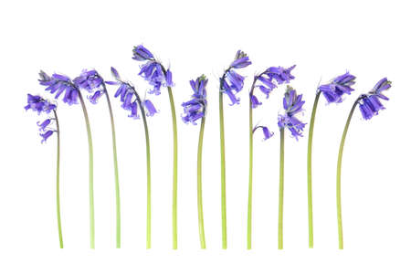 Spring uncultivated bluebell flowers in a line on white background. Zdjęcie Seryjne