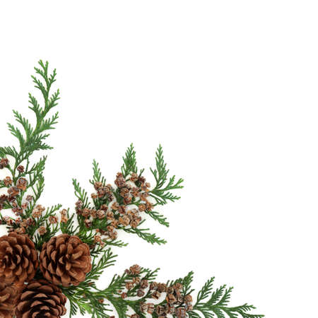 Cedar cypress leylandii evergreen leaves with pine cones on white. Natural decorative background border for winter, Christmas & New Year season. Flat lay, top view, copy space.