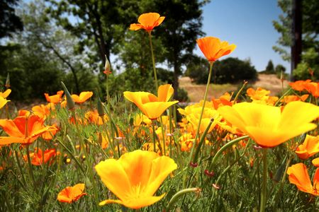 wildflowers: Beautiful Poppies, Californias Official Flower   Stock Photo
