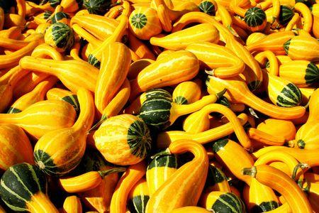 Harvest Of Autumn Gourds photo