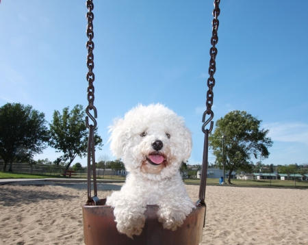 bichon: Happy Dog On Park Swing