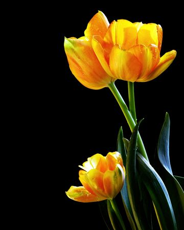 Beautiful Fresh Tulips Photograph On Black Background