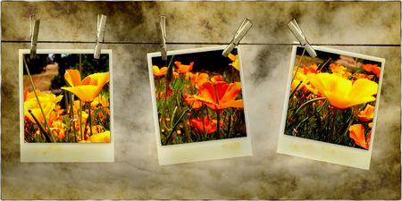Schöne Poppy Blume Photos Hanging On Line With Clothespins  Standard-Bild - 5636460