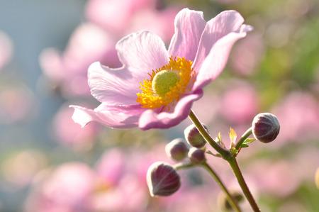 pink windflower
