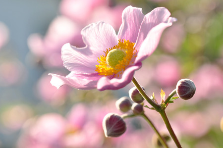 różowy windflower