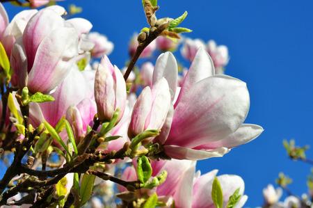 knospe: pink magnolia against blue sky