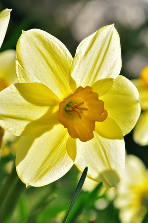 knospe: yellow daffodil in the back light Stock Photo