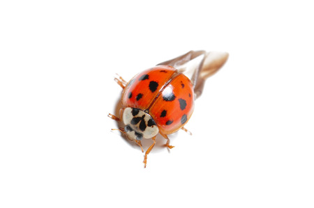 isoliert: red ladybug against white background